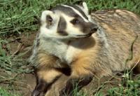 badger-badger.org