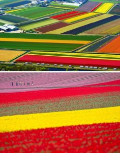 a98876_real-place_4-tulip-fields